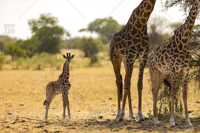A baby giraffe (Giraffa camelopardialis) with fresh umbilical cord stands near its mother in the Serengeti National Park, Tanzania