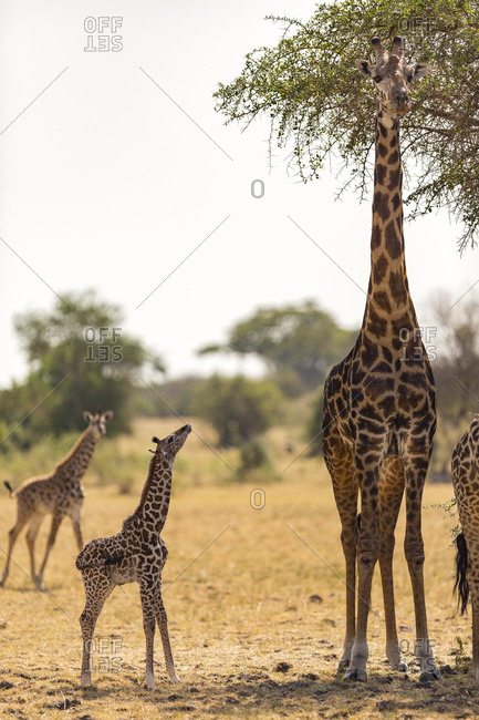 A baby giraffe (Giraffa camelopardialis) with fresh umbilical cord looking up at its mother in the Serengeti National Park, Tanzania