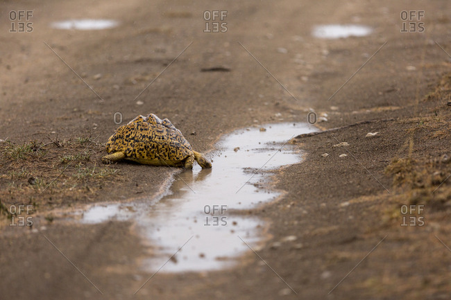 An African leopard tortoise (Stigmochelys pardalis) drinks from a puddle of rainwater in the Serengeti National Park, Tanzania