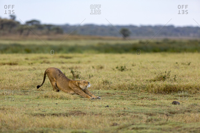 A lioness stretches after waking from a nap in the Serengeti National Park, Tanzania