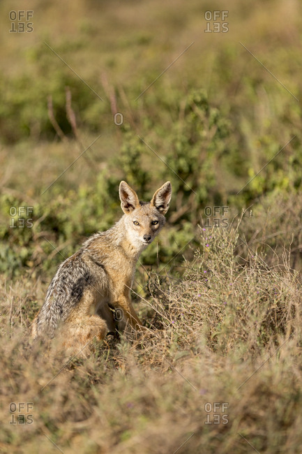 A black backed Jackal (Canis mesomelas) is seen on the open plain of the Serengeti National Park, Tanzania