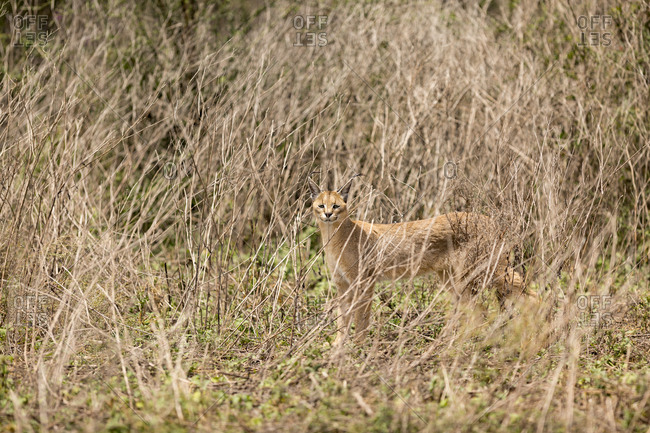 A Caracal (Felis caracal) is seen alone in brush in the Serengeti National Park, Tanzania