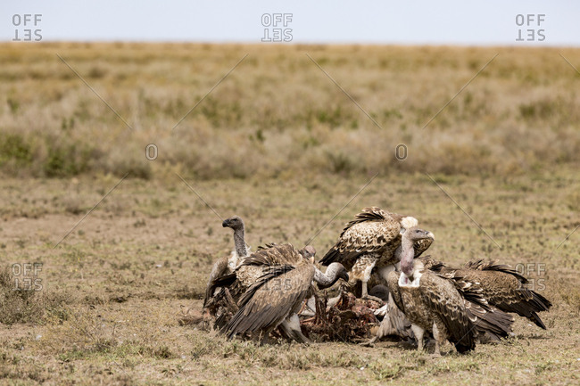 A flock of white-backed vultures (Gyps africanus) eating a fresh carcass on the open plains of the Serengeti National Park, Tanzania