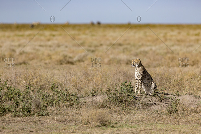 A Cheetah (Acinonyx jubatus) scans the open plains of the Serengeti National Park, Tanzania