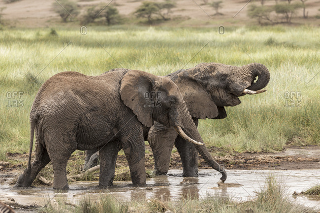 A pair of African Elephants (Loxodonta Africana) walk in a watering hole