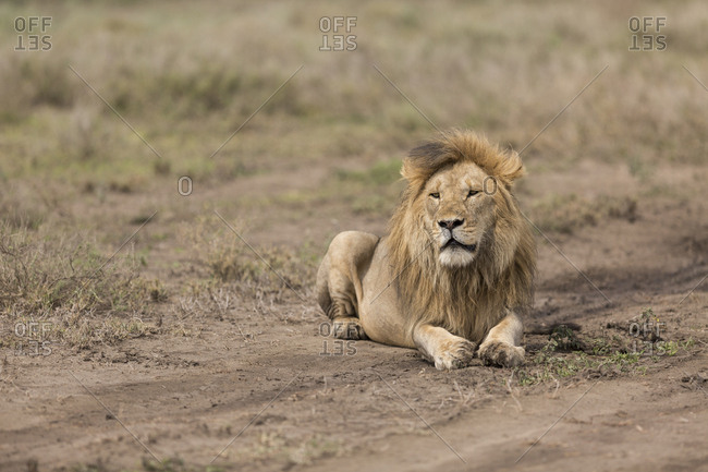 A male lion (panthera leo) shown in the mid-day heat of the open plains of the Serengeti National Park, Tanzania