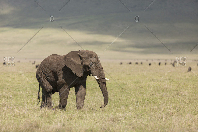 An African Elephant walks inside the Ngorongoro Crater with Wildebeests in the background