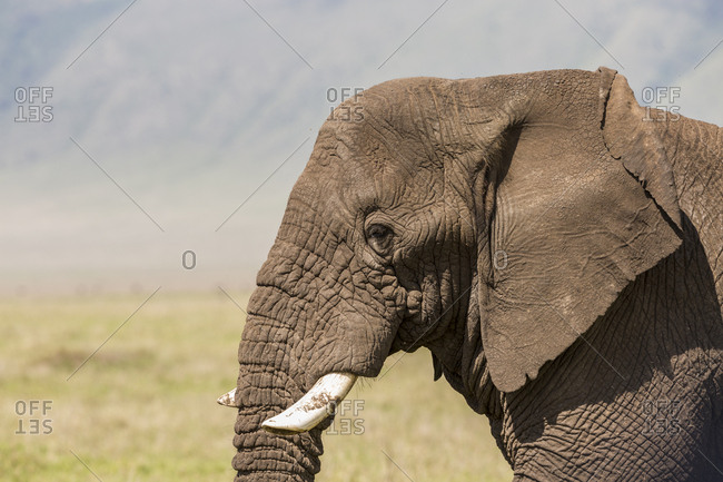 An African Elephant walks inside the Ngorongoro Crater