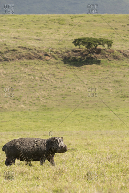 A lone hippo walks in the open fields of the Ngorongoro Crater, Tanzania