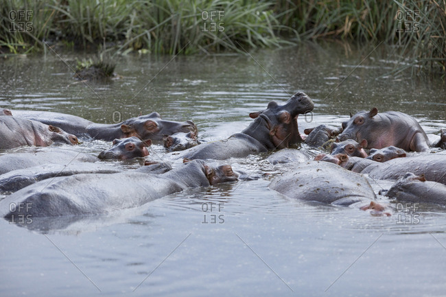 Hippos gather in a pond inside the Ngorongoro Crater, Tanzania