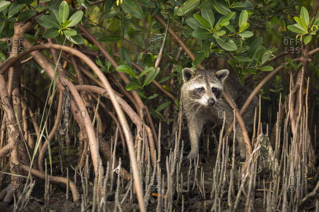 A raccoon searches for food in the mangrove roots along Tampa Bay, Florida