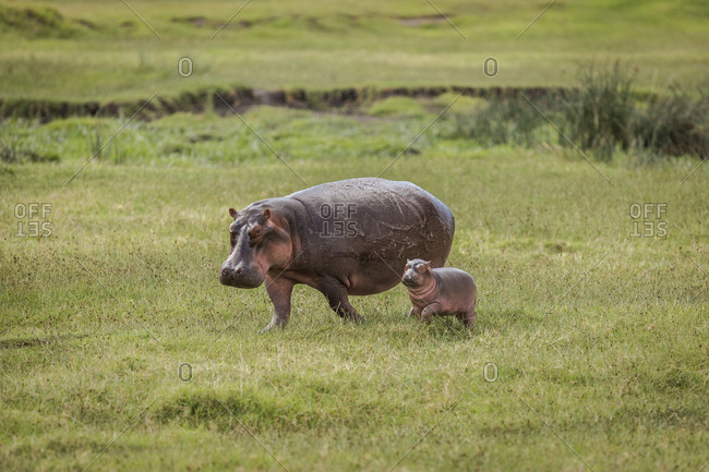 A mother hippo and her calf walk toward a pond in the Ngorongoro Crater, Tanzania