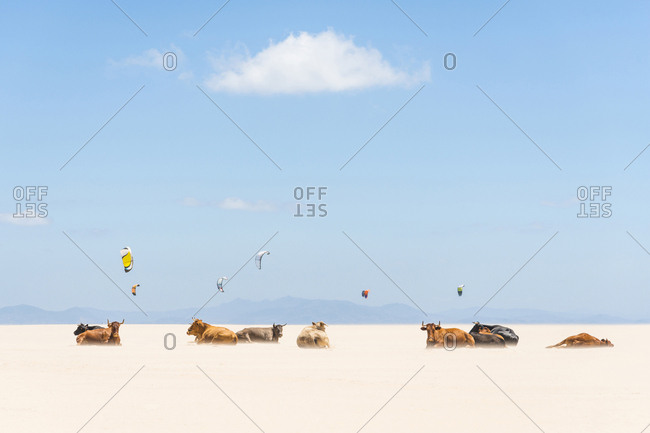 A herd of cows laying on a sandy beach with kites flying above them in Tarifa, Spain