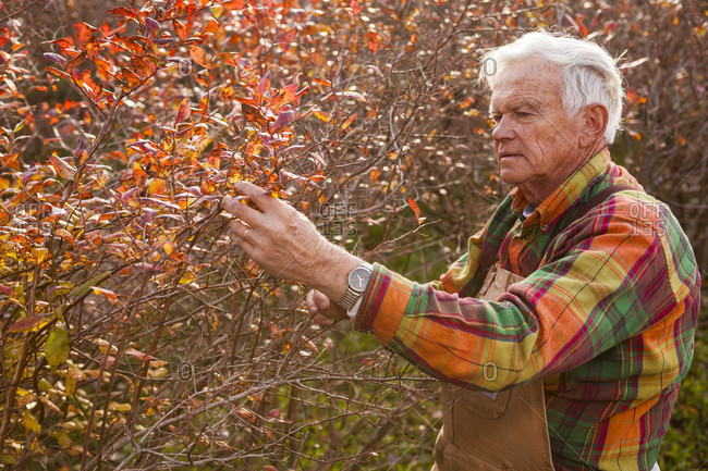 Stratham, NH, United States - October 29, 2010: Side view waist up shot of senior farmer inspecting blueberry bush in autumn