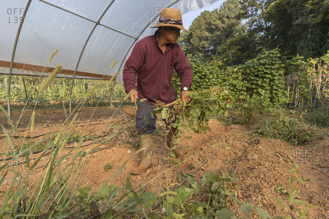 Stone Mountain, Georgia, USA - September 10, 2016: Than Ceu clearing a plot at Global Growers Farm in Stone Mountain, GA. He is a refugee from Myanmar and uses plots provided by Global Growers