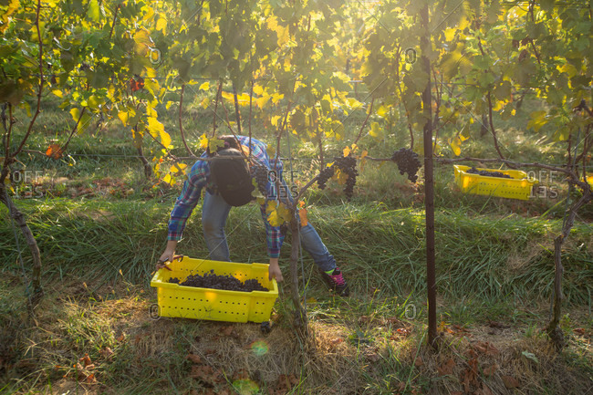 Delaplane, VA, USA - October 6, 2013: A worker clips a bunch of grapes during the harvest at Delaplane Vineyard in Delaplane, Virginia. Crisp, cool, and dry weather makes for the best harvest