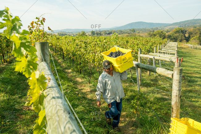 Delaplane, VA, USA - October 6, 2013: A worker hauls a box of harvested of grapes during the harvest at Delaplane Vineyard in Delaplane, Virginia. Crisp, cool, and dry weather makes for the best harvest, and this year provide perfect conditions