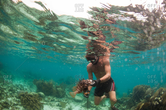 Atlantic Ocean, Atlantic Ocean, Atlantic Ocean - June 3, 2013: Ren C. gently handles a lion fish after spearing it. When the spines are clipped, the fish can be cooked and it's tender meat is quite coveted. The lion fish is an invasive species from the Pacific - in the Atlantic ocean it has no natural predators