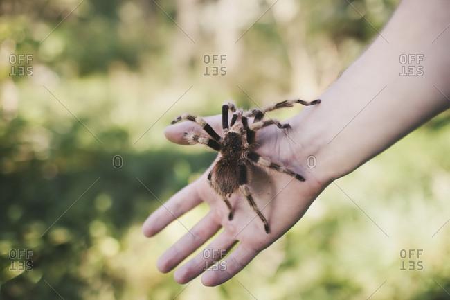 Close up of hand holding tarantula spider.
