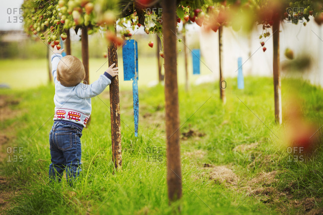A toddler, young boy crawling around under the raised staging of strawberry plants in a polytunnel at a PYO, pick your own fruit farm.