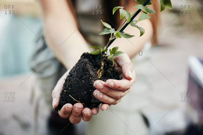 A person holding a small plant and rootball, preparing for planting.