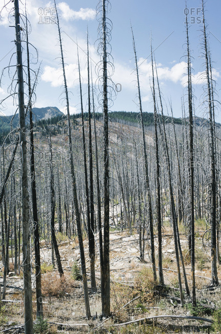 Fire damaged forest from extensive wildfire, near Harts Pass, Pasayten Wilderness, Washington.
