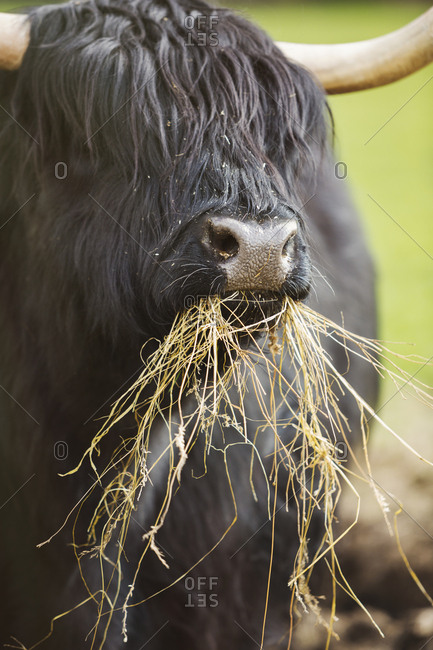 Black Scottish Highland cattle with long wavy coat feeding on hay.