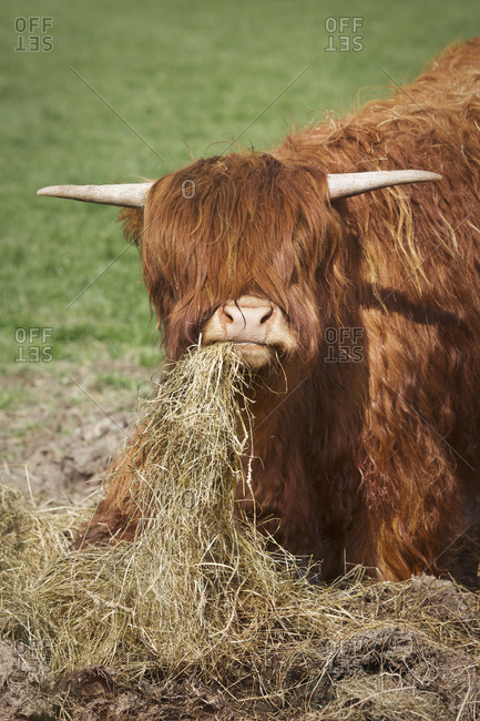 Brown Scottish Highland cattle with long wavy coat feeding on hay.