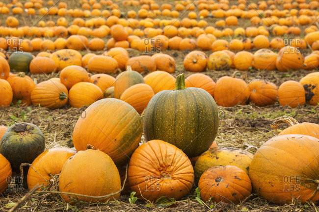 Rows of green and orange pumpkins harvested and left out to dry off in the fields in autumn.