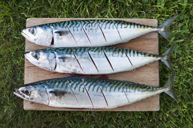 Three fresh mackerel fish on the slab being prepared for cooking.