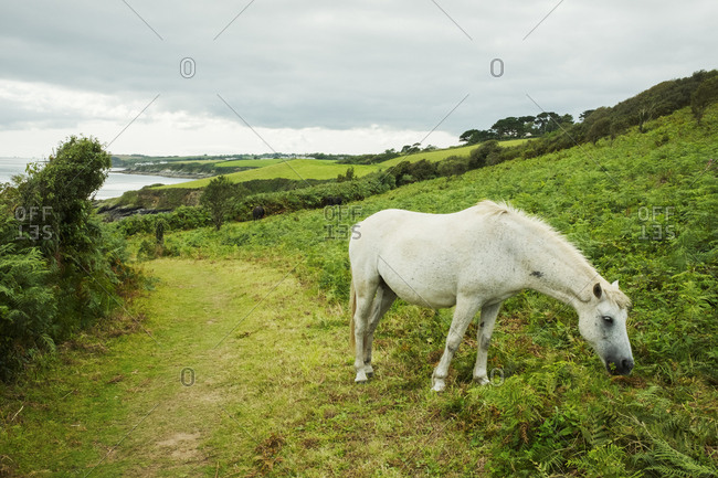 A wild grey pony grazing on the bracken and vegetation on a hillside overlooking the coast.