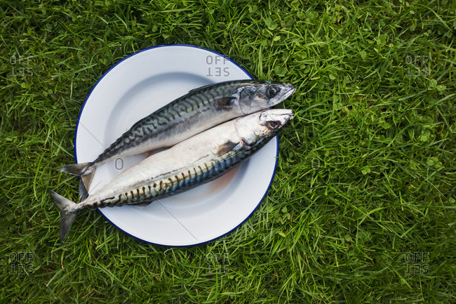 A white plate with two fresh mackerel fish on it on the grass. Gutted and ready for cooking.