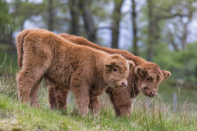 Great Britain- Scotland- Scottish Highlands- Highland cattles- two young animals