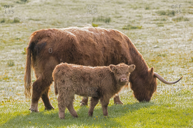 Great Britain- Scotland- Scottish Highlands- Highland cattle with young animal