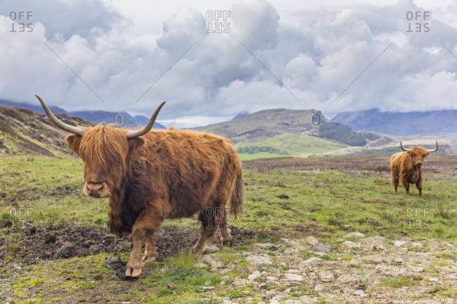 Great Britain- Scotland- Scottish Highlands- Highland Cattles