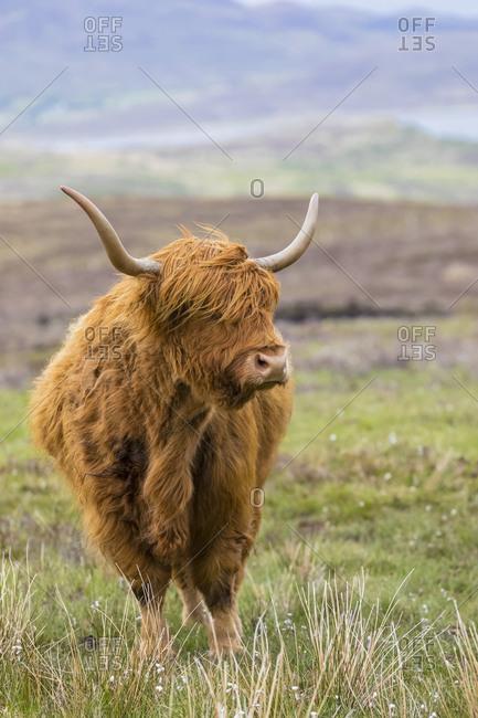 Great Britain- Scotland- Scottish Highlands- Highland Cattle