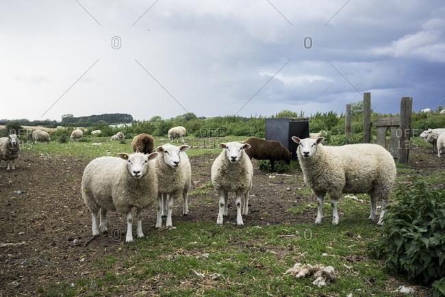Sheep standing in a field in Klintholm Havn, Denmark