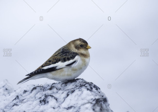 Snow bunting, Plectrophenax nivalis, Iceland