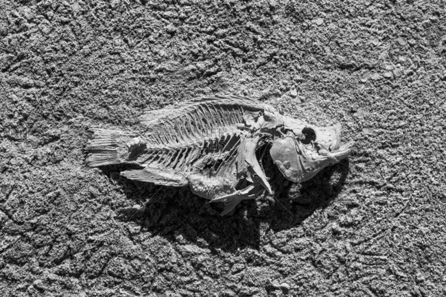 Salton Sea fish skeleton