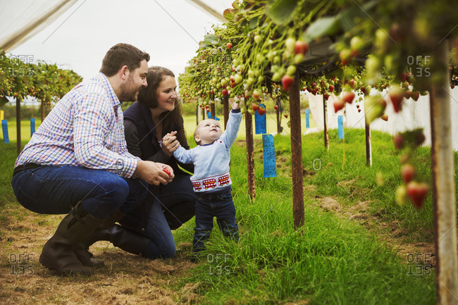 A family and a baby boy picking strawberries from plants grown on raised platforms in a polytunnel