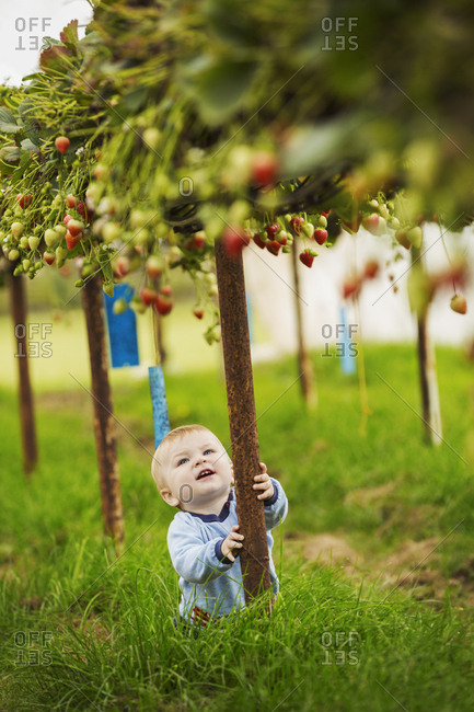A toddler, young boy crawling around under the raised staging of strawberry plants in a polytunnel at a PYO, pick your own fruit farm