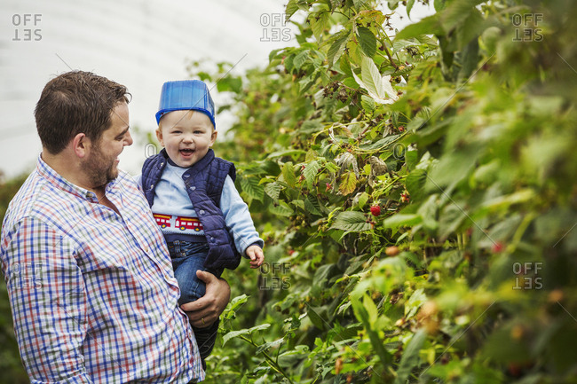 An adult man and a toddler in a polytunnel among soft fruit bushes picking autumn raspberries