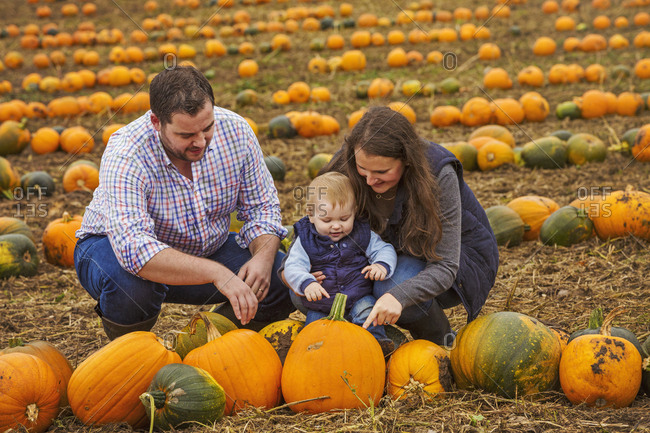 A family, two adults and a young baby among rows of bright yellow, green and orange pumpkins harvested and left out to dry off in the fields in autumn