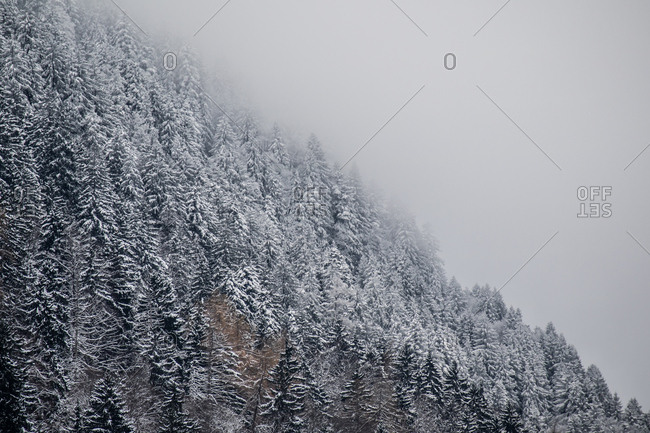 Snow dusts the trees on a mountainside on a foggy day in the Bavarian Alps