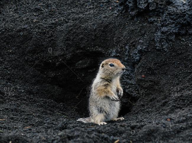 European ground squirrel in the dirt near Kamchatka