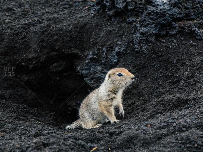 European ground squirrel in the dirt