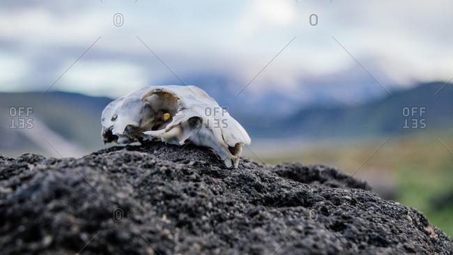 European ground squirrel skull on a mound of dirt
