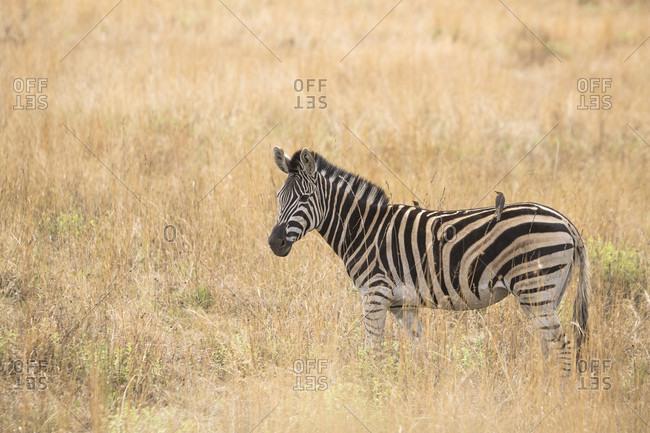 Side view of single zebra standing in savannah, Pilanesberg National Park, South Africa