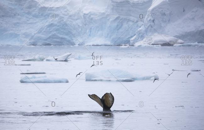 Humpback whale (Megaptera novaeangliae) tail fluke, Antarctica