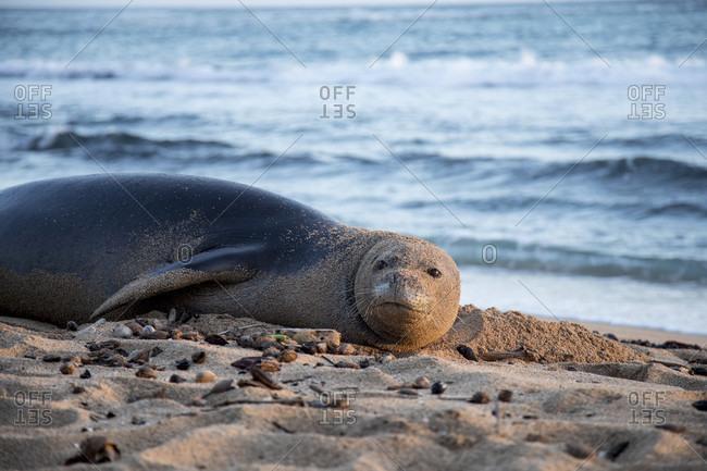 Endangered Hawaiian monk seal at Ka'a'awa on East side of Oahu, Hawaii, USA